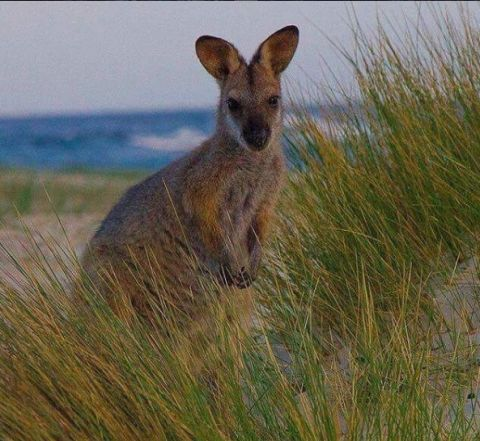 eurobodalla wallaby