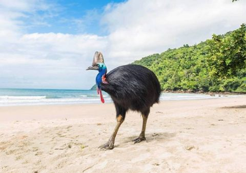 Cassowary at Etty Bay