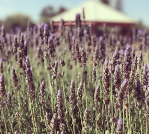murray River lavender