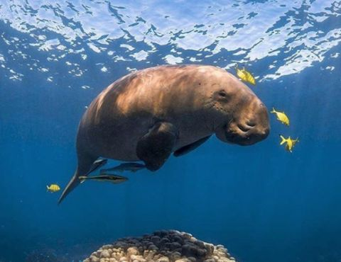 Snorkeling with Dugong