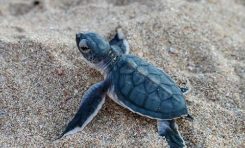 Hatchling turtle Ningaloo
